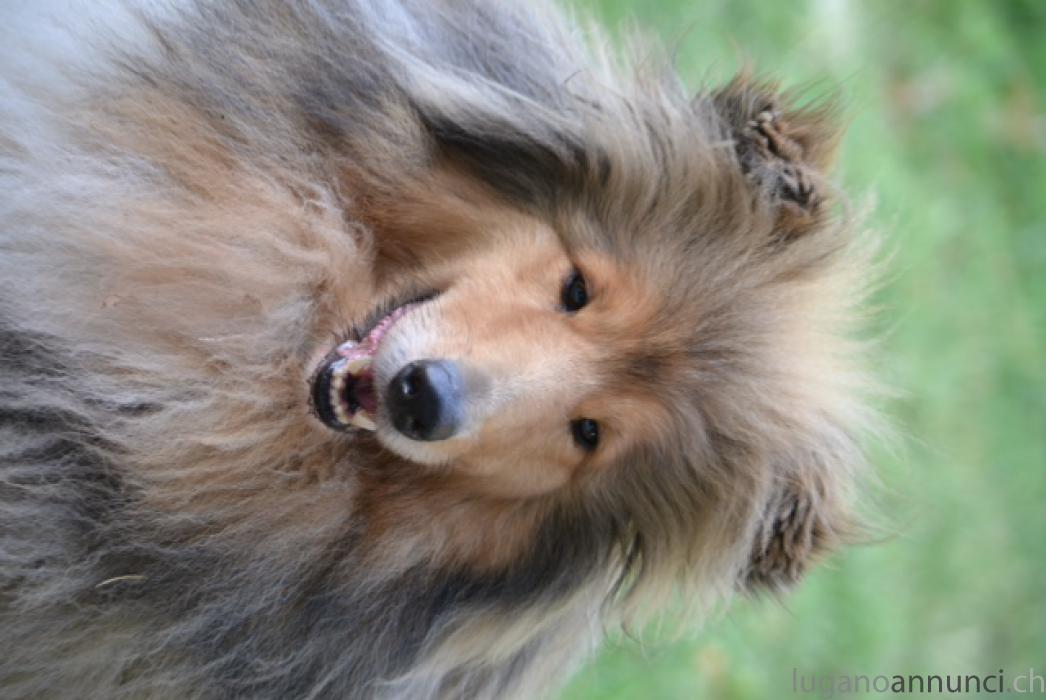 Rough collies Roughcollies.jpg