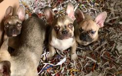 bouledogue francese grey found bouledoguefrancesegreyfound.jpg