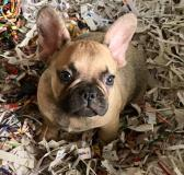 bouledogue francese grey found bouledoguefrancesegreyfound1.jpg