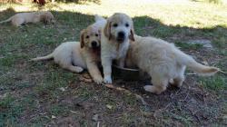 Meravigliosi cuccioli di Golden...