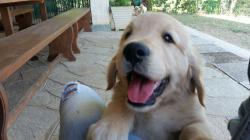 Splendidi cuccioli di Golden Retriever