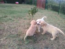 Splendidi cuccioli di Golden...