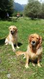 5 cuccioli di Golden Retriever