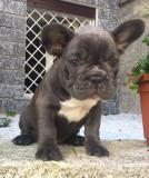 bouledogue francese blue