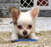 chihuahua miniature