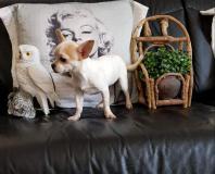 chihuahua femmina pelo raso bianco arancio mini 6 mesi