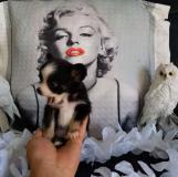 Chihuahua femmina pelo lungo bianco e nero Chihuahuafemminapelolungobiancoenero1.jpg