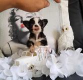 Chihuahua femmina pelo lungo bianco e nero Chihuahuafemminapelolungobiancoenero12.jpg