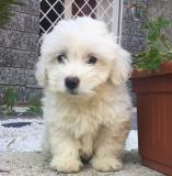 cuccioli di mini maltese cucciolidiminimaltese123.jpg