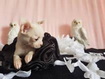 chihuahua femmina pelo raso bianco toy...
