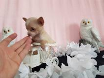 chihuahua femmina pelo raso color cappuccin toy