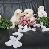 maltesi toy due femminuccie disponibili veri toy massime garanzie cuccioli itali