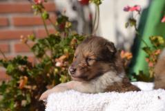 Collie - Pastore Scozzese cuccioli con pedigree