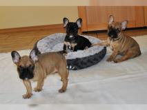 Bouledogue francese blu whatsapp:+4915216798596
