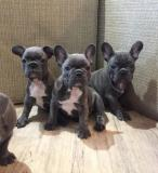 bouledogue francese whatsapp:+4915216798596