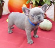 Bouledogue francese cuccioli bianchi e neri