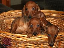 Cuccioli colore fulvo di razza bassotto...