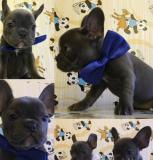 Cuccioli Bulldog Francese  Blu