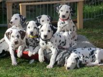 2 cuccioli dalmati