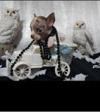 Chihuahua pelo raso bianco...