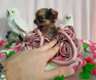 Chihuahua femmina pelo lungo color Brindle toy