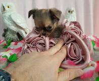Chihuahua femmina pelo lungo...