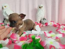 Chihuahua maschio pelo raso...