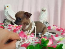 Chihuahua maschio pelo raso blue
