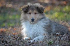 Collies cuccioli (rough Collies)...